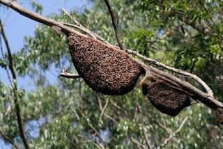Apis Dorsata Hives
