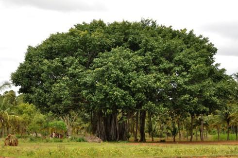 Banyan tree, Karnataka, India. Credit: T. R. Shankar Raman.