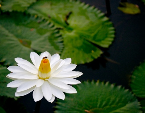White lotus. Credit: xmatt.